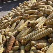 Продажа кукурузы кормовой сухой оптом по Украине . Самовывоз от производителя фото