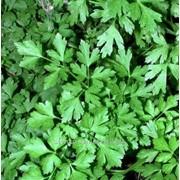 Семена петрушки листовой Карнавал фото