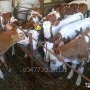 Телки, нетели. Симментальской породы мясо молочная фото