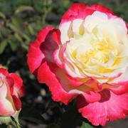 Роза чайно-гибридная Двойное Удовольствие (Double Delight) фото