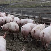 Свиньи,поросята фото