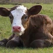 Премикс Витамит - теленок фото