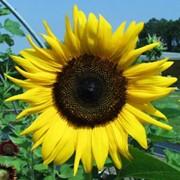 Подсолнечник лепестки сушенные( sunflower petals dried) фото