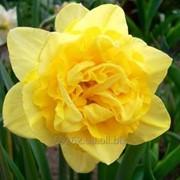 Narcissus Eastertide Нарцисс Истертайд 14-16 фото