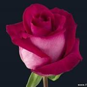 Роза Purple-cezanne фото