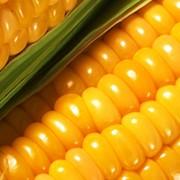 Кукуруза фуражная от производителя. Низкие цены. Гарантия фото