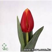 Тюльпан Denmark фото