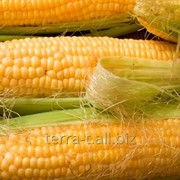 Кукуруза Мел 272 МВ фото