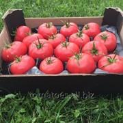 Розовый томат фото