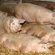 Белково - минеральные добавки для свиней (БМВД). «Финишер» 10% (Для кормления свиней живым весом 66-120 кг) фото