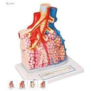 Модель легочных долек с кровеносными сосудами фото
