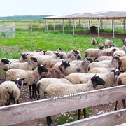 Овцы под разведение фото