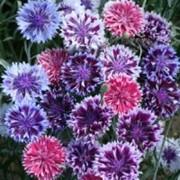 Семена цветов, семена васильки фото