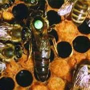 Плодные и неплодные пчеломатки Карпатской породы фото