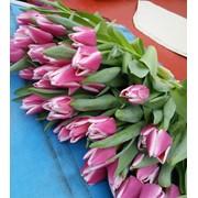 Свежие тюльпаны к 8 марта фото