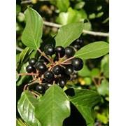 Крушина Rhamnus frangula Asplenifolium фото