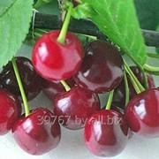 Саженцы плодовых деревьев Вишня фото