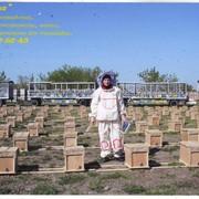 Пчелопакеты карпатка, среднерусская фото
