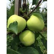 ФХ продаст яблоко урожая 2016 года фото