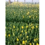 Тюльпаны собственного производства фото
