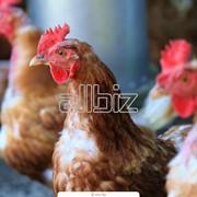 Птица домашняя, куры, гуси, утки, индейки, цесарки фото