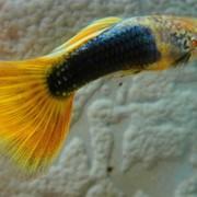 Гуппи бесарабский желтохвостый фото