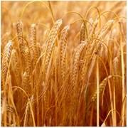 Закупаем ячмень пшеницу фото