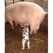 Премиксы для свиноматок Польфамикс® - Свиноматка Екс - 2,5% фото