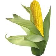 Сахарная кукуруза фото