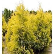 Туя западная Yellow Ribbon фото