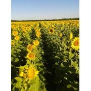 Семена подсолнечника Дозор Стандарт фото