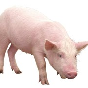 Куплю шкуру свинну фото