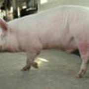 Сперма племенных пород свиней фото