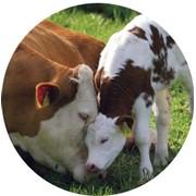 Заменитель цельного молока фото
