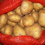 Посевной картофель Артемис 1РС фото