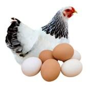 Яйцо куры адлерская серебристая инкубационное фото
