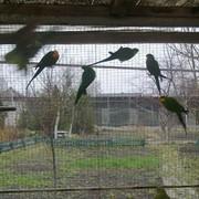 Барабандов попугай фото