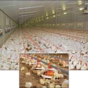 Автокормушки для домашней птицы. Кормушки для успешного откорма бройлеров FluxX. фото