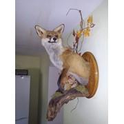 Чучело лисы 1/2 фото