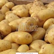 Картофель кормовой фото