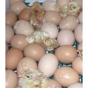 Инкубация яиц, продажа суточного молодняка птицы: цыплята , гусята, утята фото