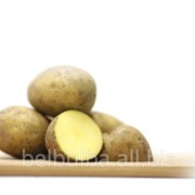 Ранний картофель сорт Леди Клер Элита фото