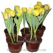 Тюльпаны в горшочке (3шт) фото