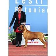 Курс хендлера собак для выставок в Минске фото
