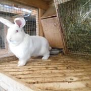 Кролики породы Белый Великан(Чистопородные) фото