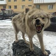 Полноростовое чучело волка фото