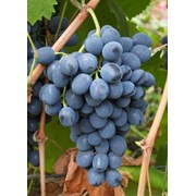 Виноград столовый сорт Молдова фото