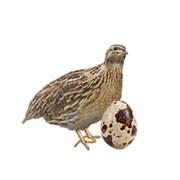 Яйцо перепелиное инкубационное фото