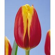 Тюльпаны на 8-е Марта и 14 февраля (Dow jones) фото