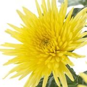 Хризантема одиночная фото